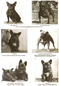 Famous French Bulldogs of 1906