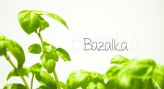Bazalka / basil