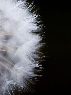 Close-Up of a Dandelion Flower Photographic Print at Art.com $39.99