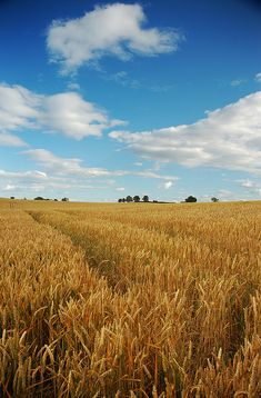 wheat fields and blues skies (photo by Liam Grue 2005)
