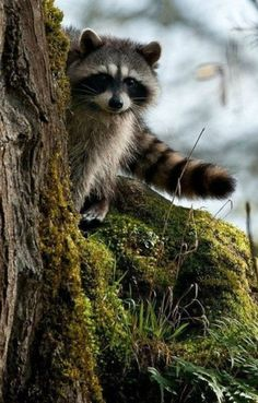 "A Raccoon ~ ""With A 'Tale' To Tell!"""