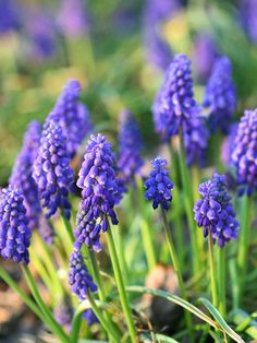 Grape Hyacinth        A beautiful spring-flowering bulb, grape hyacinths produce clusters of blue, purple, white, or yellow flowers in midspring.        Plant Name: Muscari selections        Growing Conditions: Sun or shade and well-drained soil        Size: To 8 inches tall and 3 inches wide        Zones: 4-8