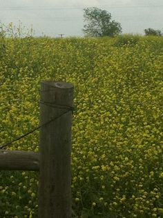 Field of bright yellow blooms