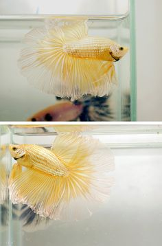 Never seen this color before, metallic gold beta fish! Lovely.