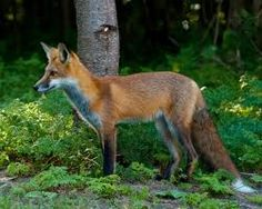 Photo about Juvenile Male Red Fox standing in the forest. Image of male, mammal, multiple - 11068428 Fox Stock, Red Fox, Natural World, Mammals, Royalty Free Stock Photos, Nature, Image, Vectors, Behance
