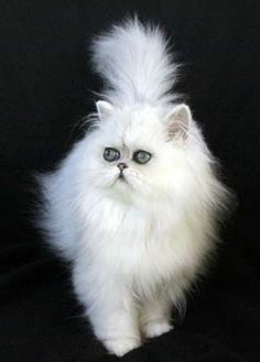 Chinchilla and Shaded Silver Persian #Cats and #Kittens