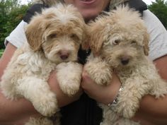 Rare Apricot CollieDoodle Puppies (Bordoodles) | Gloucester, Gloucestershire | Pets4Homes
