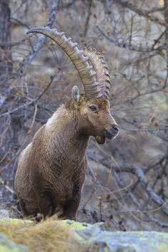 Alpine ibex - Steinbock  by Marco Barone on 500px