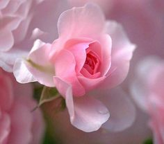 Beautiful and delicate pink rose~ Love Rose, Pretty Flowers, Pretty In Pink, Pink Flowers, Colorful Roses, Perfect Pink, Gif Kunst, Parfum Rose, Girly Girl