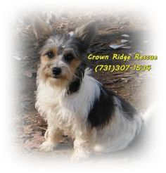 Laurel & Hardy is an adoptable Yorkshire Terrier Yorkie Dog in Bath Springs, TN. The sweet dog pictured is the Moma dog. Puppies will be ready around Valentines Day . She has 1 female and 4 males on C...