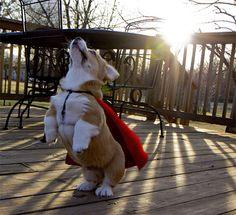 SUPER CORGI FRIDAY!