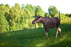 Feeding Moose in Dalsland, Western Sweden