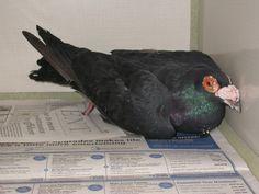 Pigeon - fancy Pigeon, Birds, Fancy, Friends, Animals, Amigos, Animaux, Bird, Boyfriends