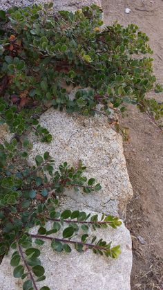 Arctostaphylos uva-ursi 'point reyes' growing on top of a rockwall. OR 'Radiant'. See link for more photos.