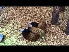 Cutest 'fight' ever... baby pandas...