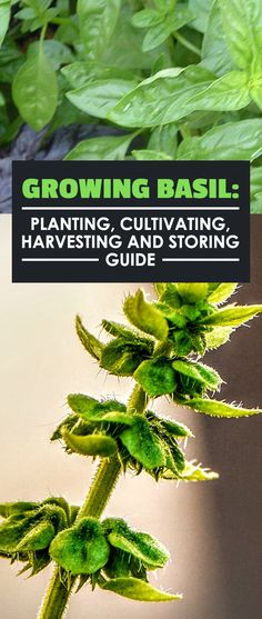 Learn everything you need to know about how to grow basil, including planting, caring, harvesting, storing, and the different types of this tasty herb.