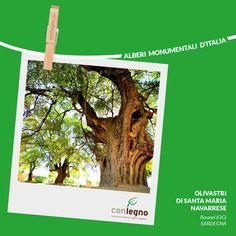 Olivastri di Santa Maria Navarrese #trees #italy