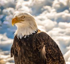 Bald Eagle Photo by Tom Piorkowski -- National Geographic Your Shot Eagle Images, Eagle Pictures, Decorah Eagles, Eagle Project, Birds In The Sky, Eagle Wings, Big Bird, Birds Of Prey, Predator