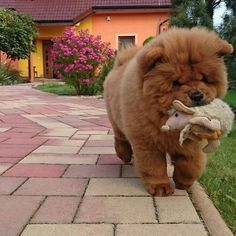 Chow Collie Royal Canin Chow Chow Purina Puppy Chow For Larg. Perros Chow Chow, Chow Chow Dogs, Puppy Chow, Chow Dog Breed, Dog Breeds, Cute Puppies, Cute Dogs, Dogs And Puppies, Doggies