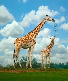 Animales - Madre e hija jirafas comiendo en su hábitat natural - Sabana