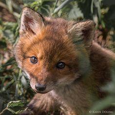 Red Fox Cub by Karin Döling on 500px