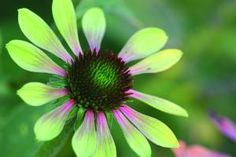 'Green Envy'™ Coneflower - a very unique flower color sets this coneflower apart.