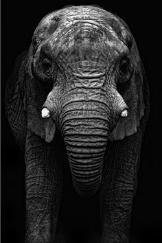This is a picture of a bull elephant from howletts Zoo in kent, uk i uploaded a image a few weeks ago simalar to this one but this is in my opinion the better of the two hope you like Bull Elephant, Elephant Love, White Elephant, Elephant Photography, Animal Photography, Beautiful Creatures, Animals Beautiful, Hello Beautiful, Absolutely Gorgeous