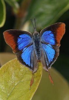 The Common Fig-tree Blue Butterfly (Myrina silenus ficedula)