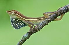 Grass Anole (Anolis auratus), male displaying, Central Panama. Photograph by James Christensen on Flickr