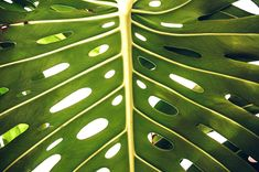 Monstera Deliciosa, Plant Leaves, Plants, Plant, Planets