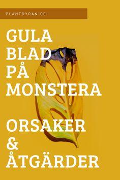 Gula blad på en älskad Monstera är aldrig en rolig syn - oavsett om det handlar om en deliciosa, variegata eller monkey mask. Det finns en uppsjö av olika anledningar till av bladen kan skifta färg, men allt som oftast handlar det av fyra olika orsaker varav tre går att lösa utan bestående men för varken människa eller Monstera. En artikel från Plantbyrån.  #monstera #deliciosa #monkeymask #växter #krukväxter #indredning #plantbyrån #gulablad #sticklingar #adansonii #variegata Plants, Plant, Planting, Planets