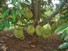 gambar pohon durian pendek lebat berbuah