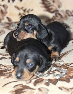 I have two doxies, and they're always in tandem. Can't help thinking of them when I look at this.