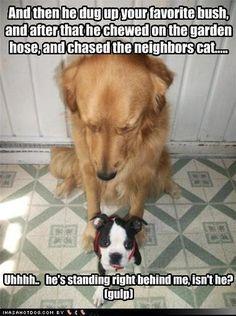 206 Best Funny Goldens Images On Pinterest Adorable