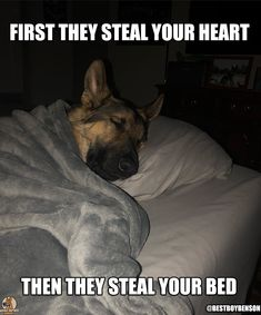 """Visit our website for even more details on """"german shephard pups"""". It is actually a great place to get more information. German Shepherd Memes, German Shepherd Pictures, German Shepherd Puppies, German Shepherds, Funny Animal Memes, Cute Funny Animals, Funny Relatable Memes, Cute Dogs, Baby Animals Pictures"""
