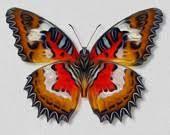 Resultado de imagem para cupha prosope butterfly images
