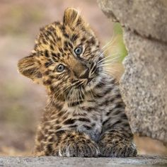 pretty Amur leopard cub born to mom Satka. Cute Wild Animals, Animals And Pets, Funny Animals, Amur Leopard, Leopard Cub, Baby Leopard, Leopard Animal, Snow Leopard, Beautiful Cats