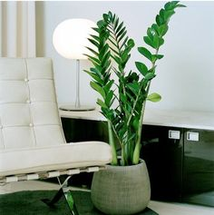 There are several varieties of houseplants that are acceptable for a low light environment. The minimal light house plants listed here might be the ideal solution for your indoor decor. Best Indoor Plants, Outdoor Plants, Feng Shui, Plante Zz, Best Bathroom Plants, Indoor Plant Shelves, Easy House Plants, Office Plants, Interior Plants