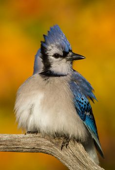 Golden | Blue Jay perched amongst vivid autumn foliage.