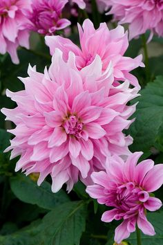 Dahlia Flower, Blossom Flower, Flower Art, All Flowers, Amazing Flowers, Flower Games, Growing Dahlias, Blossom Garden, Herbaceous Perennials
