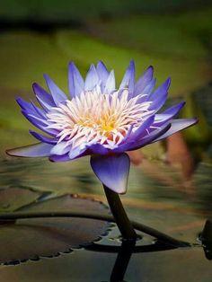Bellisima flor de loto