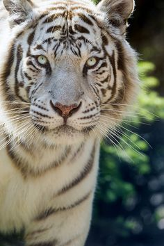 White Tiger portrait (by Tambako The Jaguar)