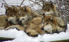 Animals Beautiful, Cute Animals, Wolf Tail, Wolf Pup, Wolf Love, 10 Month Olds, Snowy Day, Wild Dogs, Natural World