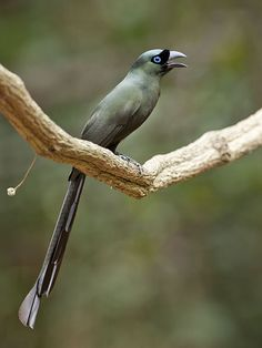 Racket-tailed Treepie - Crypsirina temia, photo by Michael Gillam. Kaeng Krachan n.p., Thailand. Guide: souththailandbirding.com