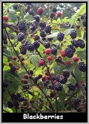 Blackberry & Raspberry plants in Herbal Medicine~ Blackberry bushes supply us with medicinal leaves, bark, roots, and berries. Blackberry leaves make an astringent tea (or wash), the roots (and bark) are made into decoctions, and all parts are used in tinctures and tonics. www.everygreenher...
