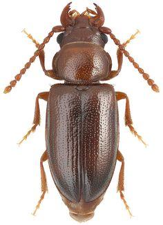 Paracucujus rostratus SenGupta & Crowson, 1966 (Boganiidae)
