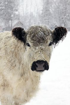 White Cow in the Snow Animal Photography by lucysnowephotography, $75.00