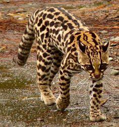 ジャガーネコ 【危急種】中南米に生息。オセロットやマーゲイと分類学的に非常に近く、身体の模様などが類似するが、華奢でより小型である。毛皮が美しいため乱獲され、現在絶滅の危機に瀕している。