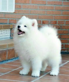 adorable cute puppies, lovely dogs! - Page 31 of 51 - SooPush - adorable cute puppies, lovely dogs! – Page 31 of 51 – SooPush cute puppies, adorable dogs, lovely animals. Samoyed Dogs, Pet Dogs, Dog Cat, Doggies, Pomeranian Breed, White Pomeranian, Pomsky, Cute Baby Animals, Animals And Pets