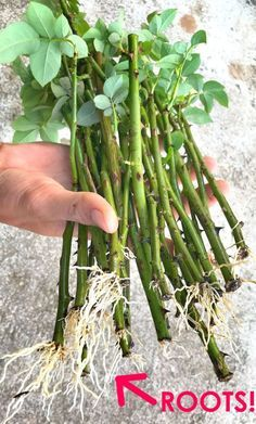 Planting Roses, Flower Gardening, Garden Plants, Cut Flower Garden, Gardening Hacks, Rose Cuttings, Plant Cuttings, Rose Propagation, Rooting Roses